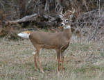 Whitetail Buck #2013-1128